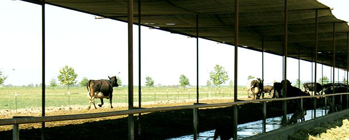 Free Roaming Cow at Organic Pastures