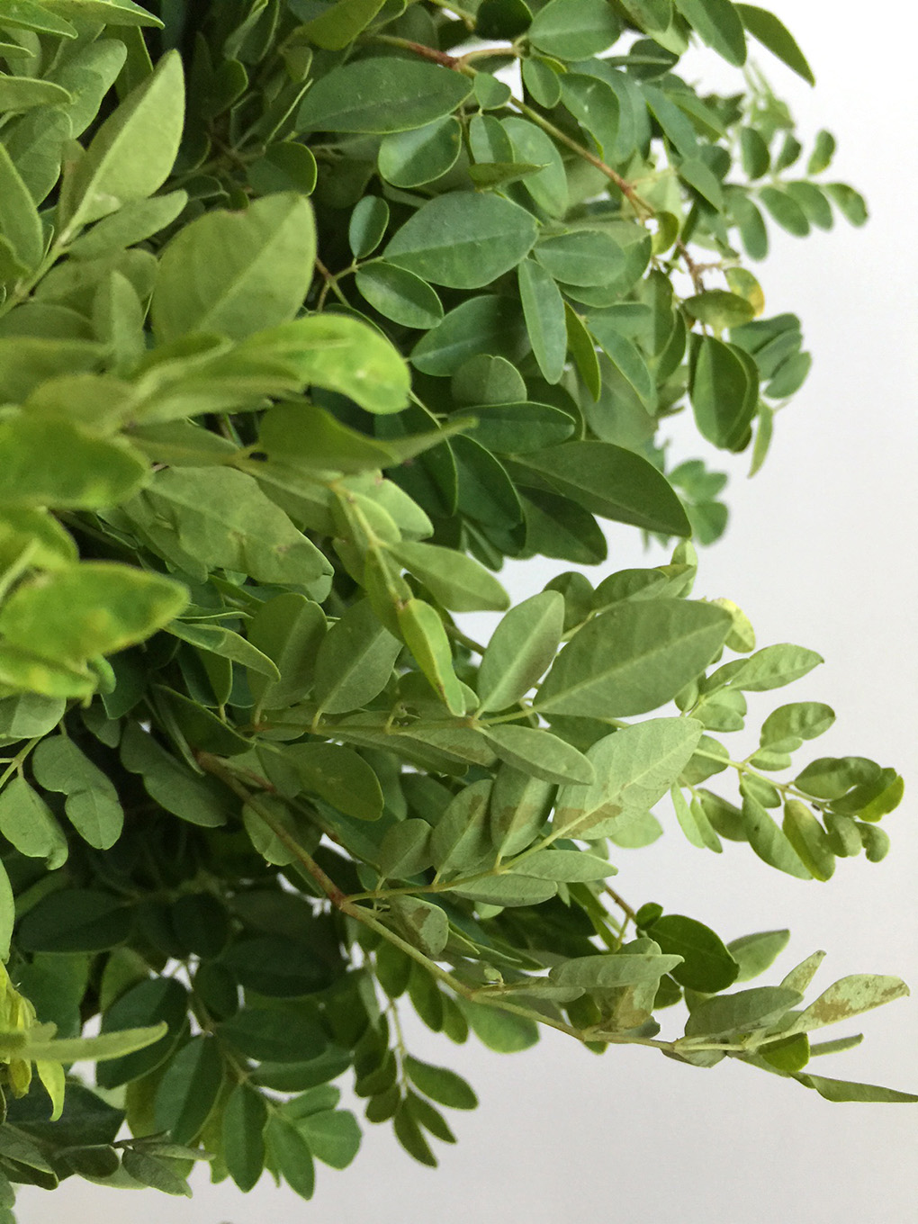 Learn the Secret healing powers of the Moringa Tree sarahkayhoffman.com Thyroid